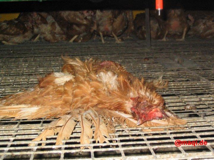 Dieses Legehuhn ist am Käfig angewachsen und wird mit Gewalt rausgerissen. Die Beine des Tieres reissen dabei ab